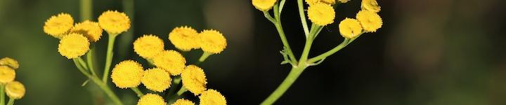 L'huile essentielle d'Hélichryse italienne aide la peau à se réparer, pour éviter gerçures et crevasses