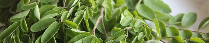 Les feuilles de Moringa oleifera sont riches en protéines naturelles, ainsi qu'en vitamines, en fer et en magnésium.