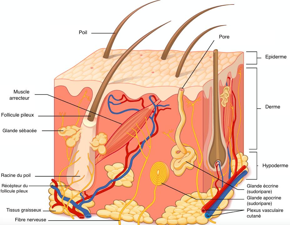 structure du cuir chevelu