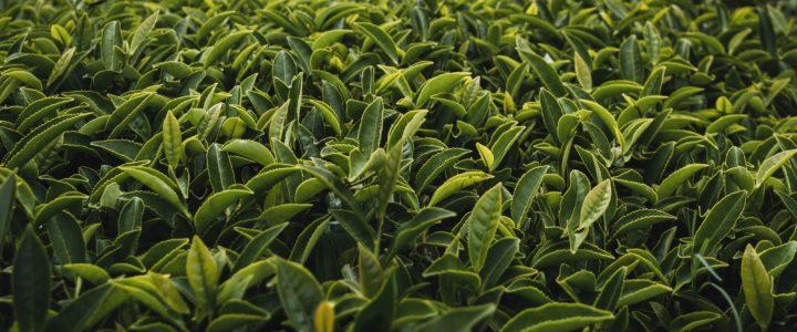 Ayuda a la pérdida de peso – combinando el té verde, el mate y el guaraná